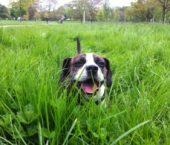 Dog Walk Acton
